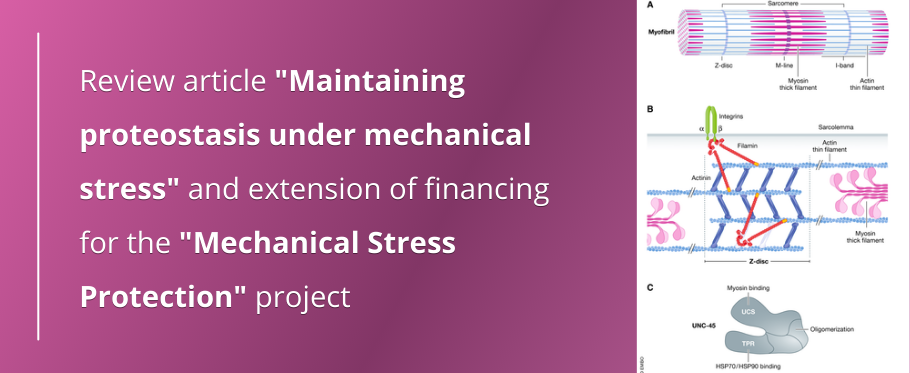 """Review article """"Maintaining proteostasis under mechanical stress"""" and extension of financing for the """"Mechanical Stress Protection"""" project"""
