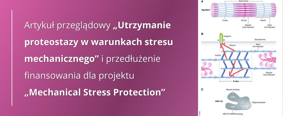 """Artykuł przeglądowy """"Utrzymanie proteostazy w warunkach stresu mechanicznego"""" i przedłużenie finansowania dla projektu """"Mechanical Stress Protection"""""""
