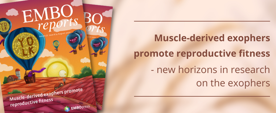 Muscle-derived exophers promote reproductive fitness - new horizons in research on the exophers